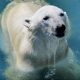 zoo-ice-bear